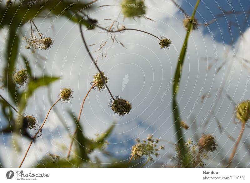 99 Blüten Wiese Sommer Blume Wolken Froschperspektive grün weiß Vergänglichkeit Blühend recken Verkehrswege aufwärts Himmel blau