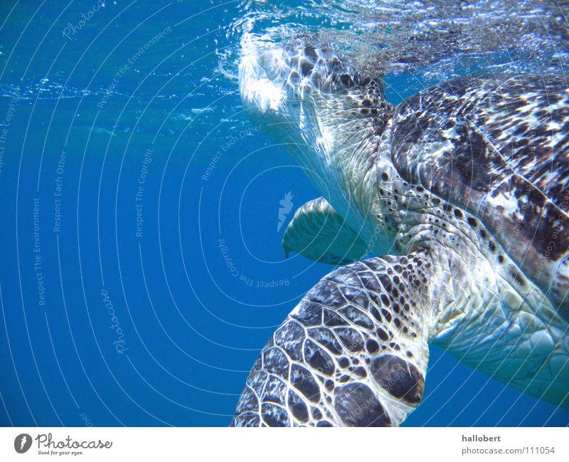 Malediven Water 08 Wasser Meer Ferien & Urlaub & Reisen tauchen Malediven Schildkröte Riff Schnorcheln Unterwasseraufnahme Umweltschutz Tierschutz