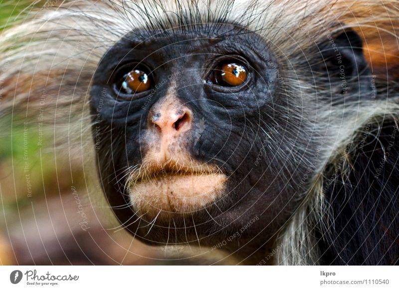 Natur schwarz rosa Behaarung Wildtier Insel Mund Menschenaffen Sansibar