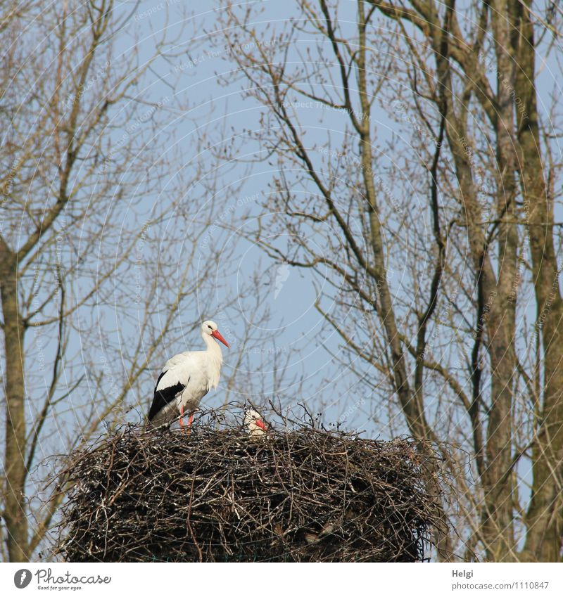 Familienplanung... Umwelt Natur Pflanze Tier Wolkenloser Himmel Frühling Schönes Wetter Baum Wildtier Storch Weißstorch Nest 2 Blick stehen ästhetisch
