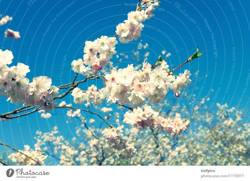 Kirschblüte Sommer Ostern Frühling Blume Blüte Wege & Pfade blau rosa Nostalgie Kirschblüten Kirschbaum spaziergang himmel baumblüte baumblütenfest Kirsche