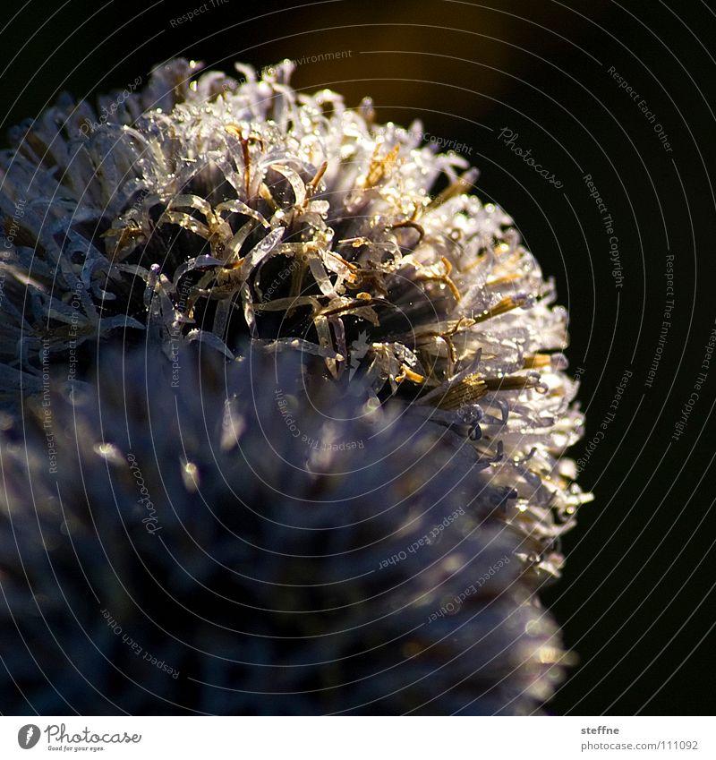 Distel Blume Pflanze weiß Unschärfe Tiefenschärfe Wiese Sträucher Licht Sommer Herbst Kugeldistel Stachel Schmerz Natur silber Sonne gold Haare & Frisuren