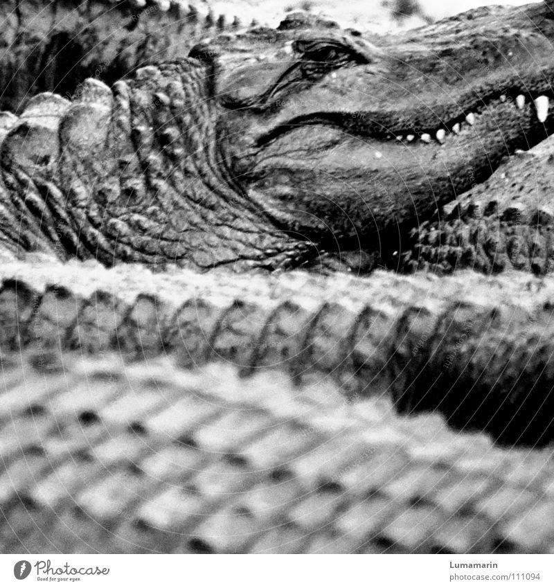 Familienangelegenheit Alligator Krokodil Reptil Anhäufung Haufen Wachsamkeit beobachten gefährlich drohen langsam ruhig bewegungslos Gelassenheit erhaben