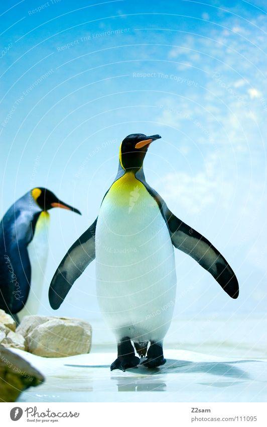 poser im frack Pinguin kalt Tier Vogel Antarktis Kaiserpinguine watscheln stehen Schnabel gelb lustig hell-blau Himmel Mitte Körperhaltung Eis Flügel paarweise