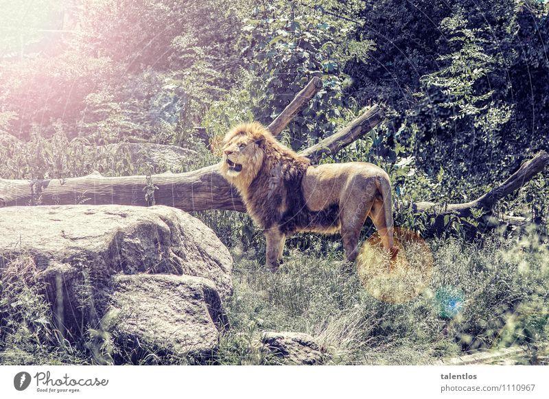 Lion Natur Tier Wildtier Zoo Aggression bedrohlich muskulös stark gelb Erfolg Kraft Willensstärke Macht Mut Tatkraft Wahrheit Ehrlichkeit Abenteuer Löwe