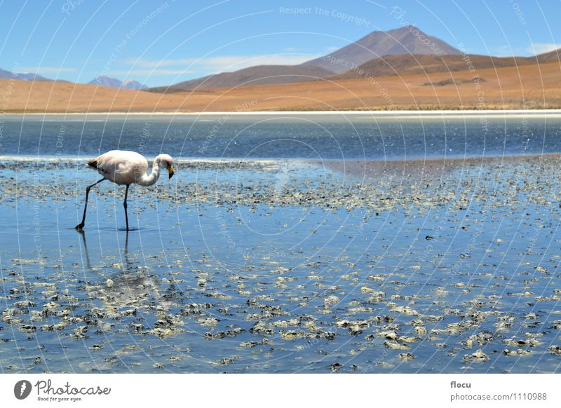 Hochlandflamingos in einer Lagune, Bolivien, Anden exotisch Ferien & Urlaub & Reisen Safari Berge u. Gebirge Natur Tier Wolken Park See Vogel Flamingo Stein