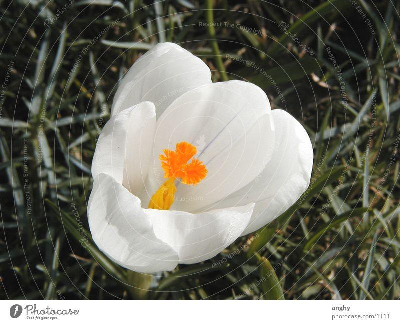 Krokus, nah Natur weiß Krokusse Blume