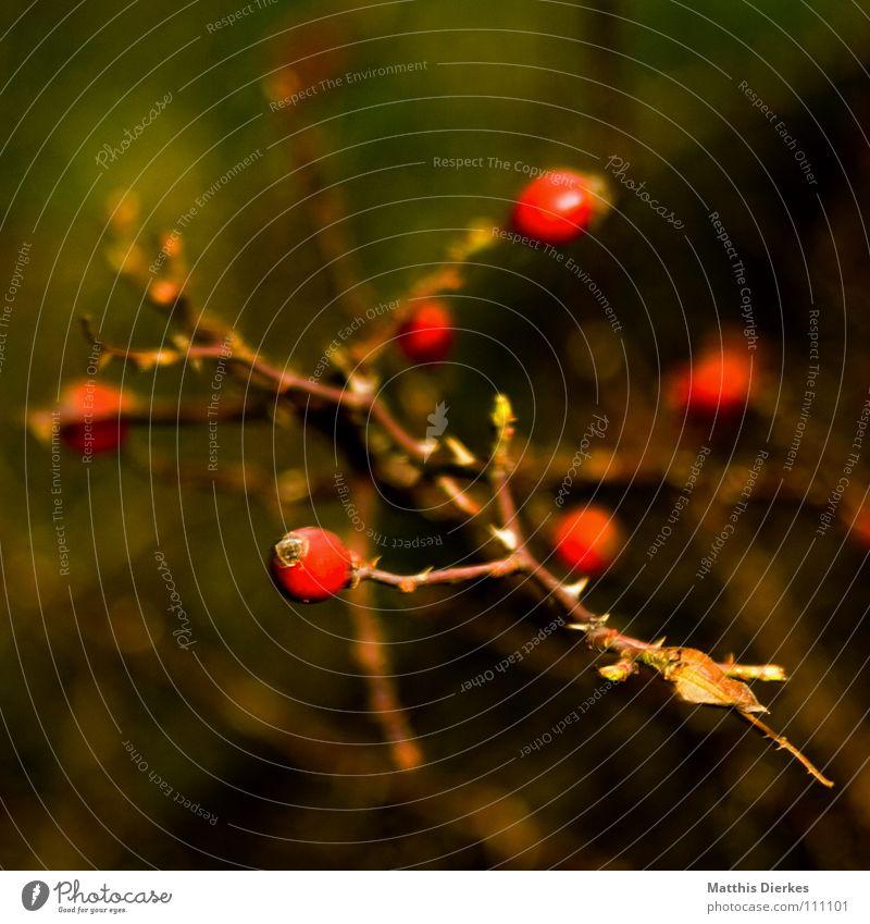 hagebutten Sträucher Pflanze Botanik Herbst Gemälde gemalt rot Ordnung unklar Unschärfe Rose Hundsrose Lebensmittel Vitamin lecker Marmelade stachelig Denken