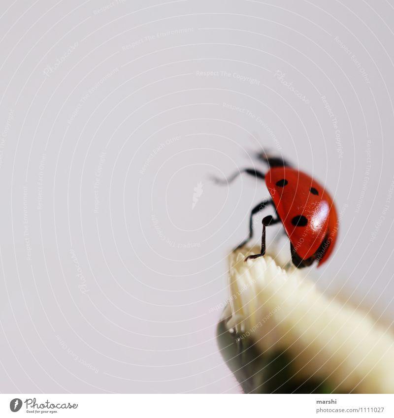 wenn ich mal groß bin, dann.... Tier Käfer 1 Stimmung Marienkäfer Insekt tierisch fliegen Blume Farbfoto Außenaufnahme Innenaufnahme Detailaufnahme Tag