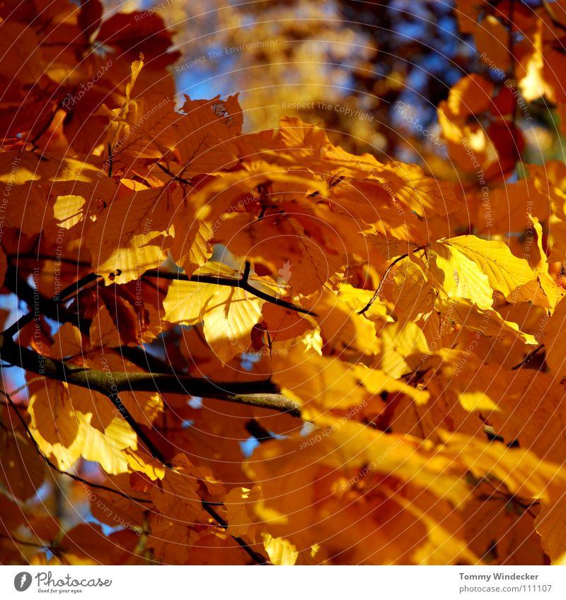 Blattgold II Herbst Oktober November Baum Wald mehrfarbig gelb Pflanze Jahreszeiten Herbstfärbung braun Herbstlaub Herbstwald Laubbaum Eiche Landwirtschaft Park