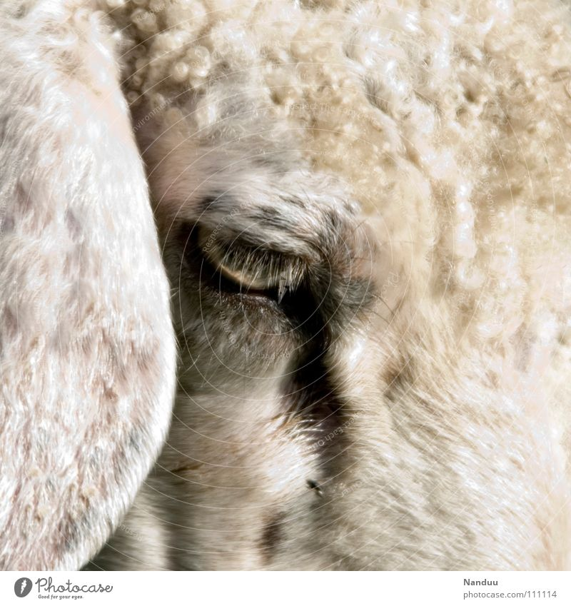 100 Gedanken... Ohr Tier Fell Traurigkeit kuschlig weich weiß Schaf lockig Hängeohr mäh Säugetier wollig Auge Farbfoto Gedeckte Farben Außenaufnahme