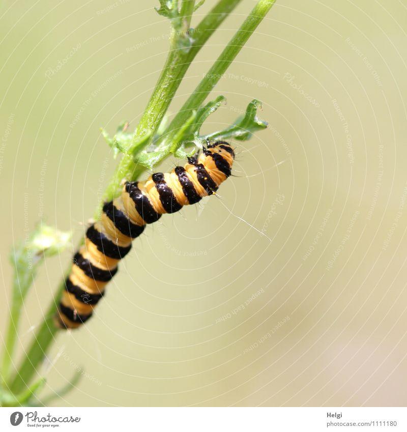 im Tigerentendress... Umwelt Natur Pflanze Sommer Schönes Wetter Blatt Wildpflanze Stengel Wiese Tier Wildtier Raupe Blutbär 1 Fressen krabbeln ästhetisch