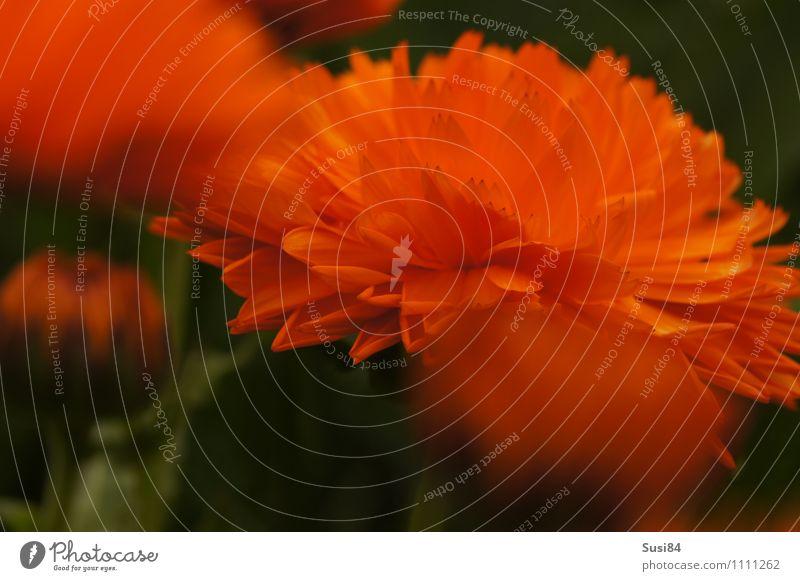Sommerblume Natur Pflanze schön Erholung Blume Umwelt Frühling Blüte natürlich Garten Stimmung orange leuchten elegant frisch