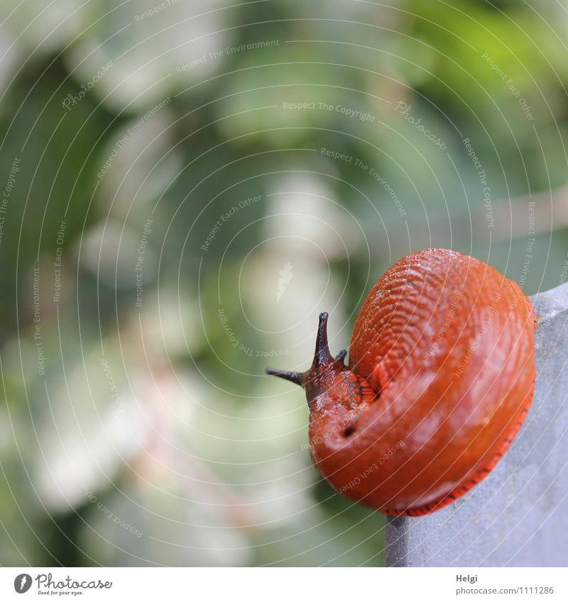 dynamisch unterwegs... Umwelt Natur Tier Sommer Wildtier Schnecke Wegschnecke Nacktschnecken 1 Metall Bewegung außergewöhnlich einzigartig klein natürlich