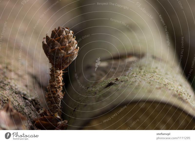 Tannenzapfen mit Baumstamm Natur Pflanze Wald Umwelt Holz Kreativität stagnierend Wildpflanze