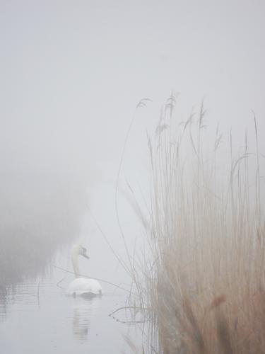 Nebelschwan Natur weiß Wasser Einsamkeit Landschaft ruhig Tier Ferne Umwelt Küste grau Schwimmen & Baden braun hell Vogel träumen