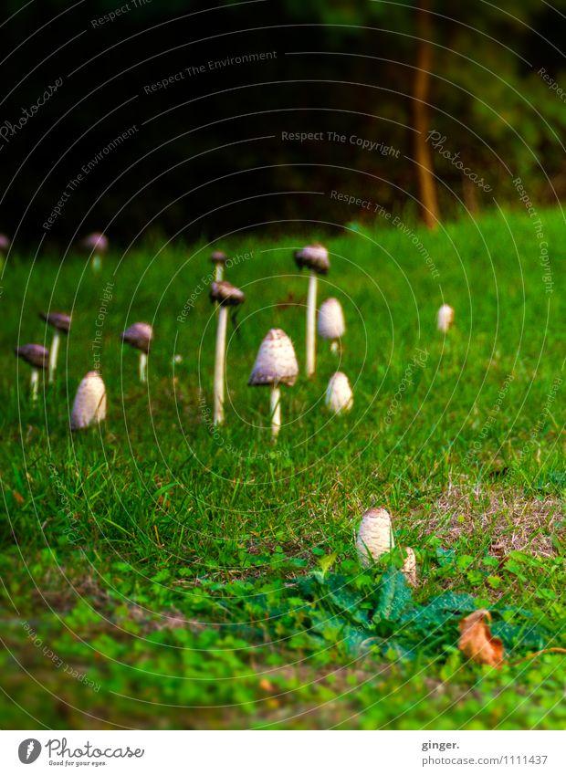 Familientreffen Umwelt Natur Landschaft Pflanze Sommer Gras Wiese Wald Wachstum Pilz viele wild Stadtrand Stengel grün braun-beige Kopf Klee Waldrand dunkel