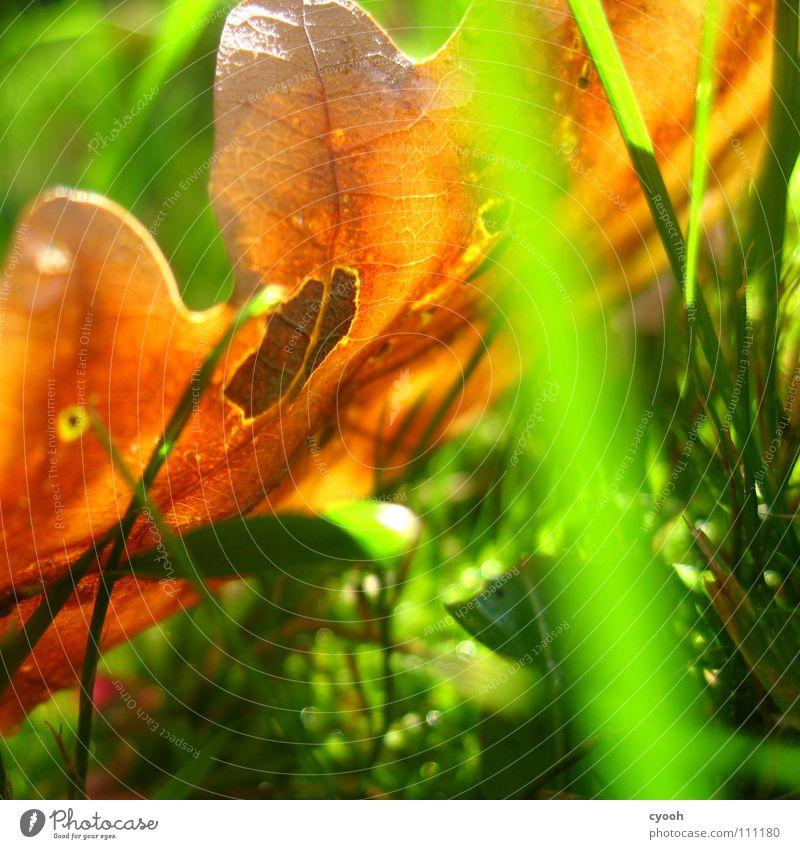 Herbst im Quadrat Sonnenlicht Sonnenstrahlen Eiche Blatt grün Gras braun grasgrün Wiese nah Froschperspektive Licht Lichtfleck ruhig Suche finden entdecken rein