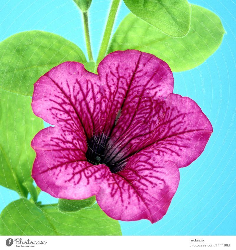 Petunie, Pitunia, Surfina Sommer Natur Pflanze Blume Blüte Topfpflanze Garten frei blau grün violett schön Balkonblumen Kübel Blumentopf Botanik Sommerblumen