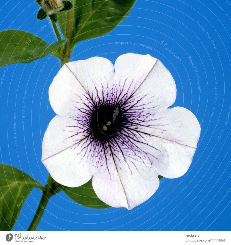 Petunie, Pitunia, Surfina Natur blau Pflanze weiß Sommer Blume Blüte Hintergrundbild Garten frei planen Botanik Stillleben Blumentopf Schlag Objektfotografie