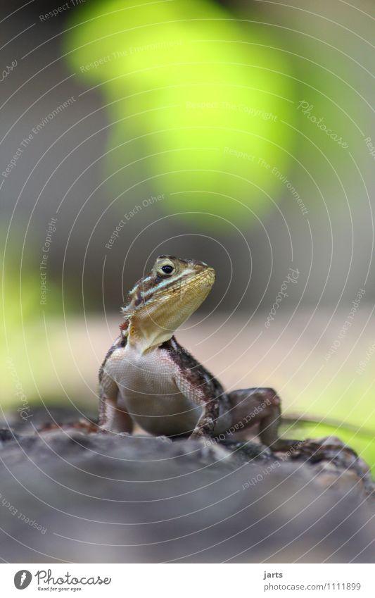 poser Tier Wildtier Echte Eidechsen 1 Brunft beobachten hocken Blick ästhetisch frei natürlich wild Natur Reptil Körperhaltung Farbfoto Außenaufnahme