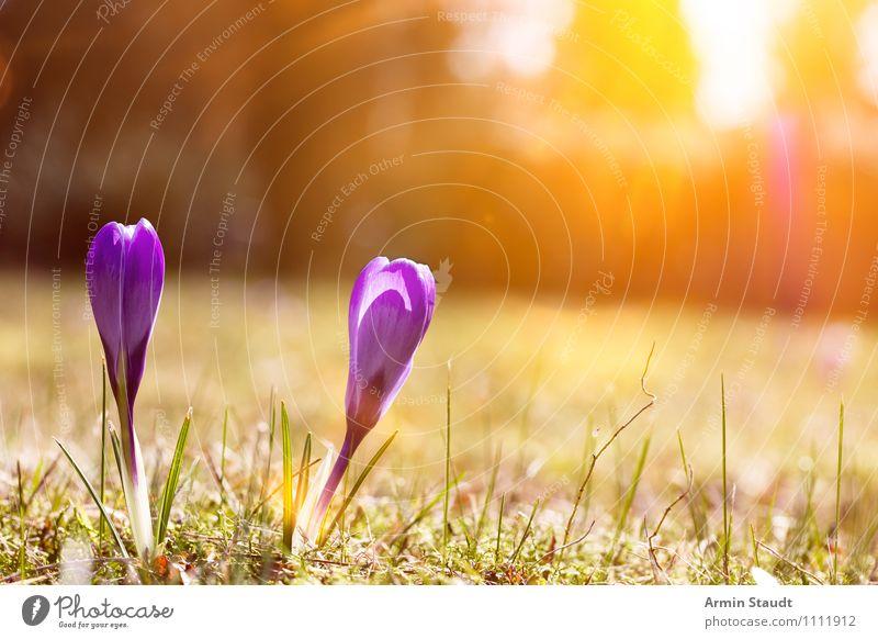 Krokus - Sonne - Frühling Himmel Natur Pflanze Blume Landschaft Wiese Gras natürlich Glück glänzend Park Zufriedenheit Wachstum leuchten