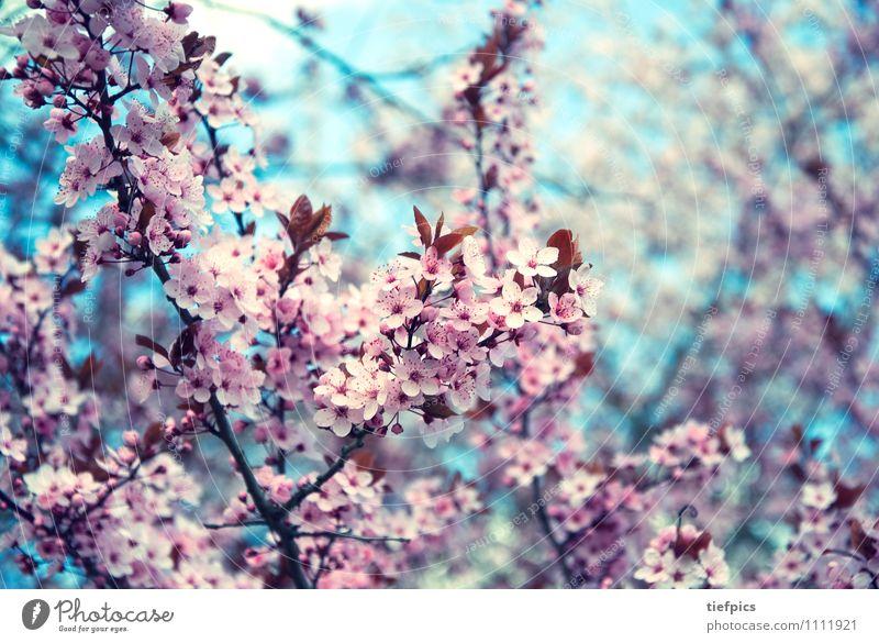 Kirschblüte Frühling retro rosa Kirschbaum Kirschblüten krischbluete blute knospen Zweig Kirsche Frühlingsgefühle Blüte blau Farbfoto Gedeckte Farben Unschärfe