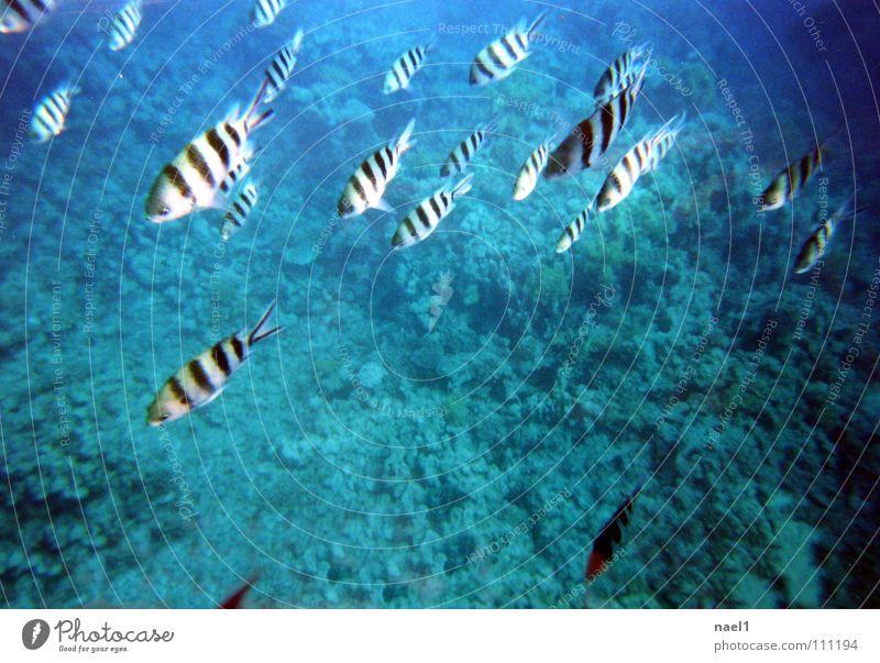 UnterwasserZebra Meer Wasser Schönes Wetter Korallenriff Fisch blau grün gestreift Farbfoto Schwarzweißfoto Unterwasseraufnahme Textfreiraum Mitte Tag Schwarm