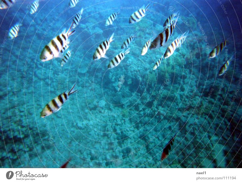 UnterwasserZebra Wasser Meer grün blau Fisch Streifen Schönes Wetter gestreift Schwarm Unterwasseraufnahme Korallenriff