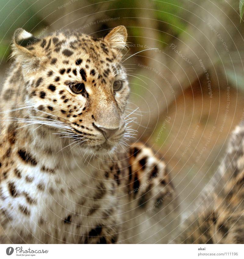 Jagdfieber Tier Futter Wachsamkeit Kontrolle Jäger krumm Angst Leopard Spielen ruhig Konzentration Pfote Schwanz Zoo Landraubtier Raubkatze Säugetier