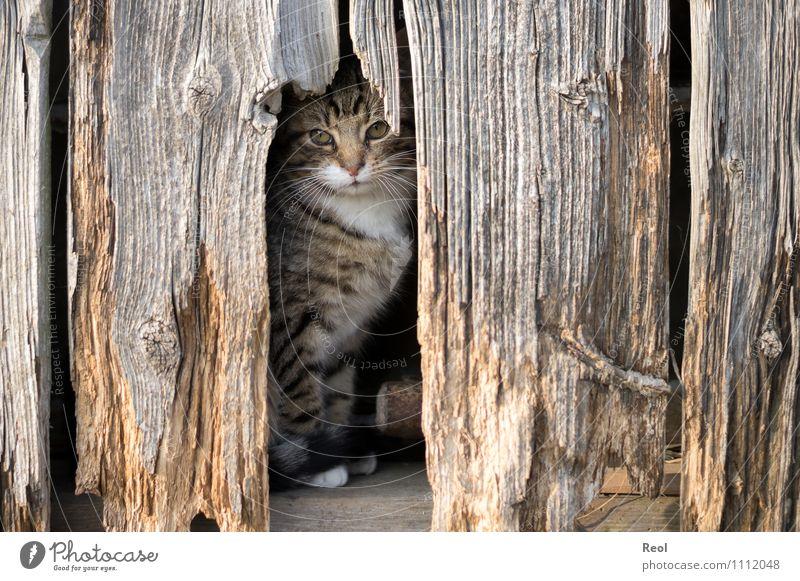 Tarnfarben Scheune Tier Haustier Katze Tiergesicht Fell Schnurrhaar 1 Holz entdecken eckig braun Wachsamkeit Schüchternheit Symmetrie Überleben Tarnung Versteck