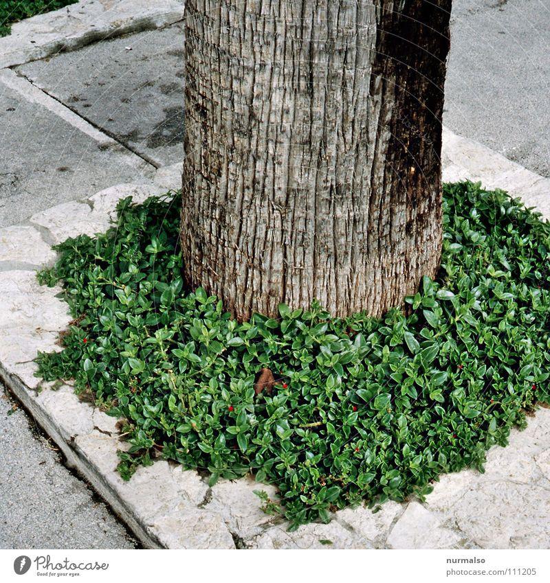 organic dildo Natur Baum grün Straße Stein Wärme Europa rund Asphalt Physik Bürgersteig Spanien Palme Verkehrswege Baumstamm gefangen