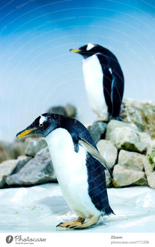 poser im frack II Himmel blau Tier gelb kalt lustig Eis Vogel Tierpaar paarweise stehen Flügel Körperhaltung Mitte Schnabel hell-blau