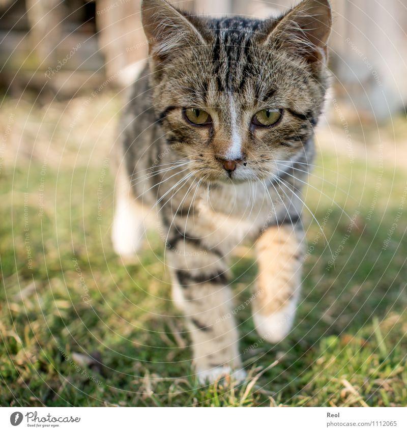 Auf der Pirsch Katze weiß Tier schwarz Tierjunges Bewegung Auge Wiese Gras braun laufen niedlich Warmherzigkeit Neugier Fell entdecken