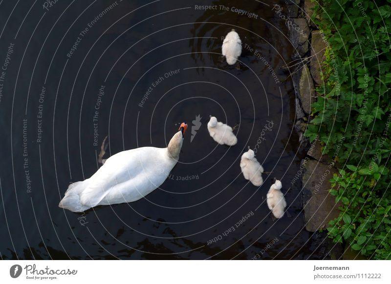 Schwanfamilie Wasser Park Flussufer Teich Tier Vogel Tiergruppe Tierfamilie Geborgenheit Familie Zusammenhalt Sicherheit Schutz Zusammensein Tierliebe