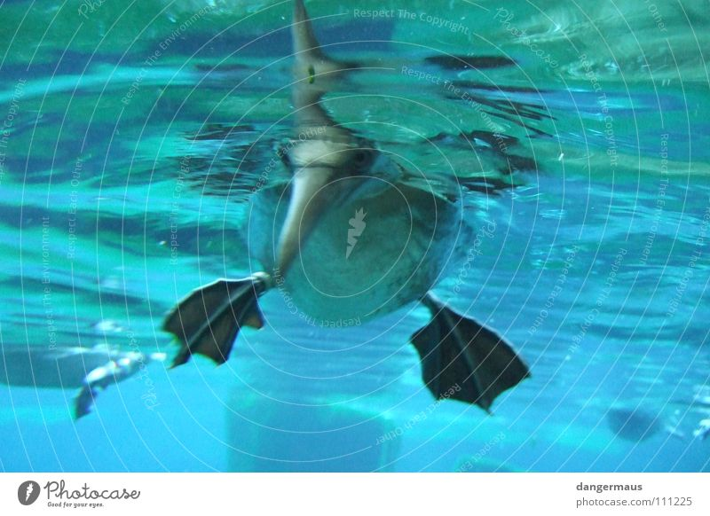 Tauchgang Wasser Meer blau Tier See Vogel tauchen Zoo Aquarium Teich Ente Schnabel