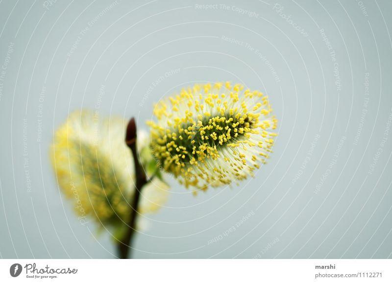 Weidenkätzchen Natur Pflanze Frühling Sträucher Blüte Grünpflanze Stimmung gelb weich Garten Farbfoto Außenaufnahme Nahaufnahme Detailaufnahme Makroaufnahme Tag