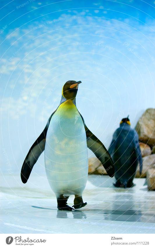 poser im frack III Pinguin kalt Tier Vogel Antarktis Kaiserpinguine watscheln stehen Schnabel lustig hell-blau Himmel Mitte Körperhaltung Eis Flügel paarweise