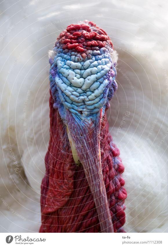 Truthahn Tier Haustier Vogel Puter 1 verrückt mehrfarbig Kopf Farbfoto
