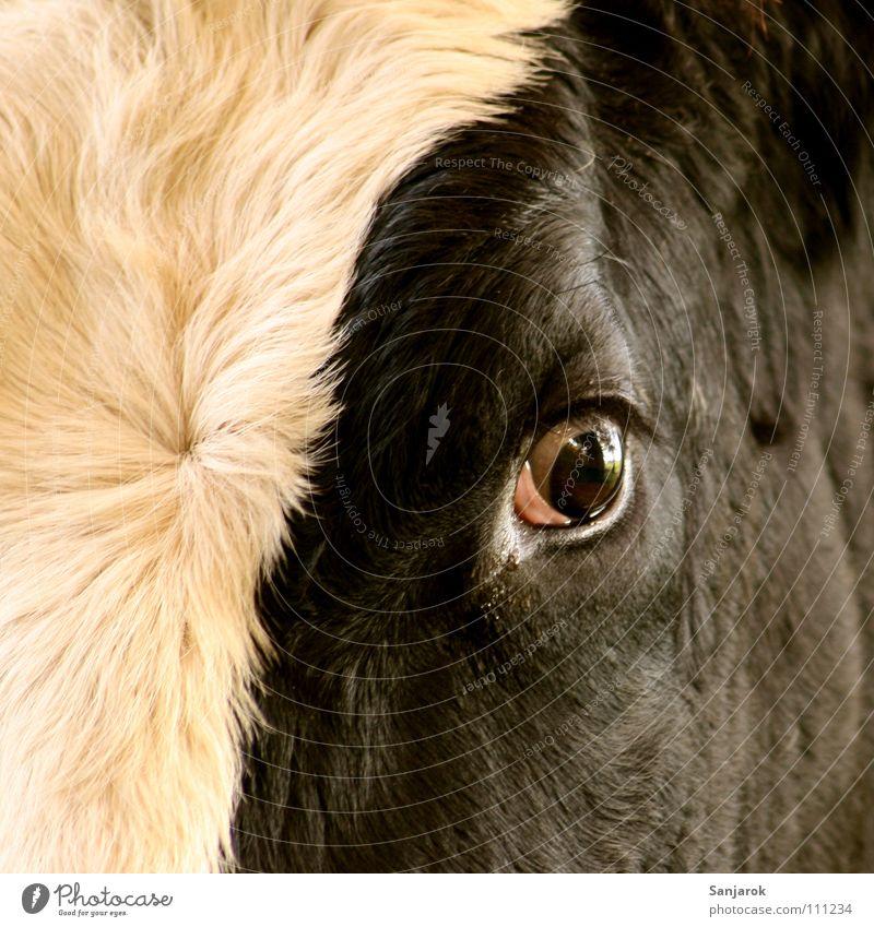 Tu mir nichts! Auge Tod Angst gefährlich Kuh Weide Blut Säugetier Panik töten Bulle Stall Rind Nutztier Metzger Metzgerei