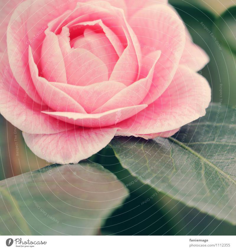 Rose Natur schön grün Blume Blatt Gefühle Liebe Blüte rosa elegant frisch offen ästhetisch Romantik Symbole & Metaphern Rose