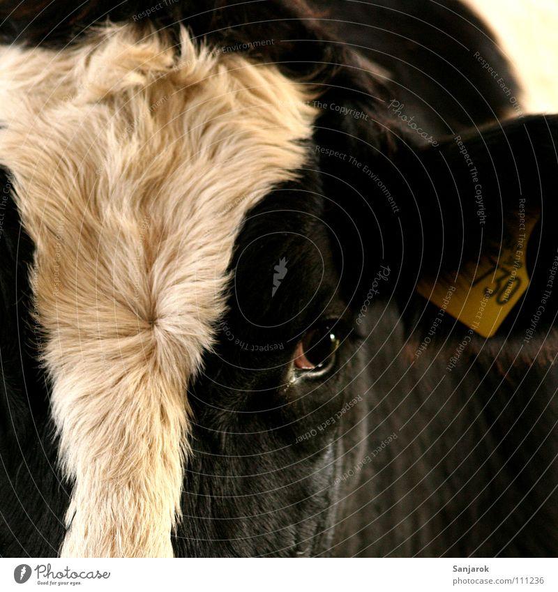 Komm an den Zaun, und ich schleck dir die Hand ab. Kuh Tierporträt Auge Fell Nutztier schön Säugetier Blesse Ohrloch Ohrringe Schilder & Markierungen Weide
