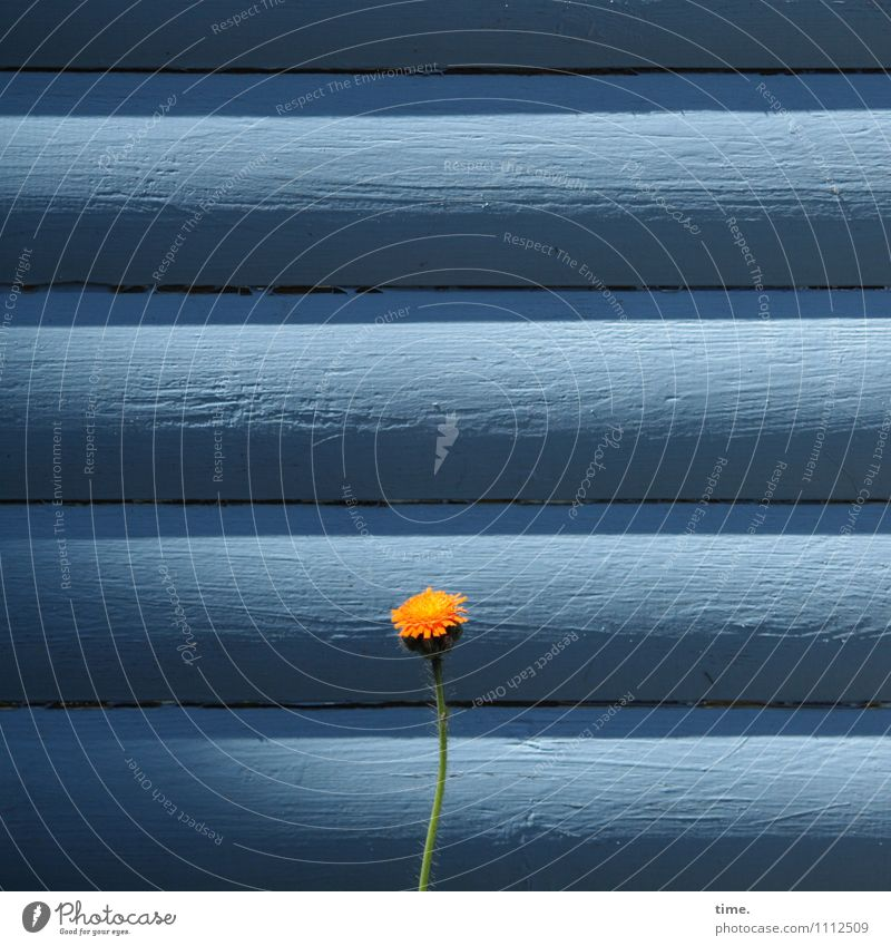 Hindernis Schönes Wetter Pflanze Blume Wildpflanze Holzhaus Gartenhaus Mauer Wand stehen Wachstum Fröhlichkeit hell klein Neugier Willensstärke Mut Vertrauen