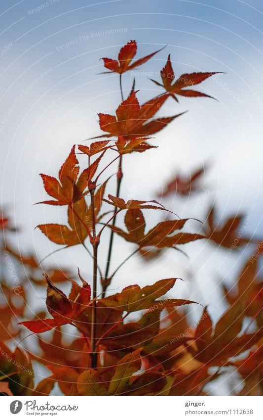 Pracht. Voll. Natur Pflanze Sträucher Blatt Wachstum Himmel Rost rot Fächer Zacken Wilder Wein aufstrebend Blauer Himmel blau viele herbstlich Unschärfe