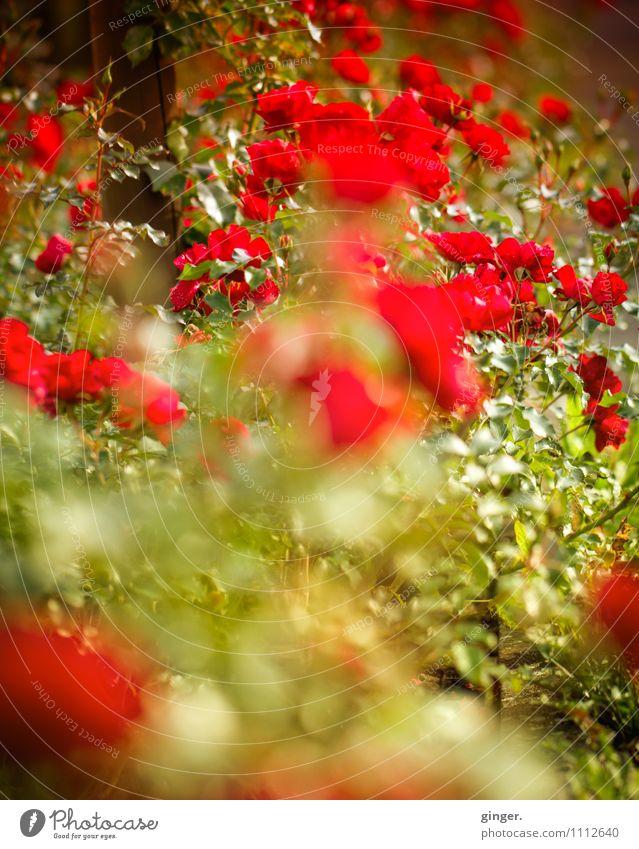 Ich bin so ... Natur Pflanze schön grün Sommer Sonne Blume rot Blatt Liebe Garten Wachstum Blühend Schönes Wetter viele Rose
