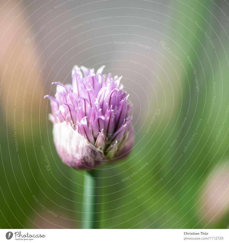 Schnittlauch Natur Pflanze grün Sommer Gesunde Ernährung Leben Herbst Frühling Blüte Essen Gesundheit Garten Lebensmittel ästhetisch Blühend Schönes Wetter