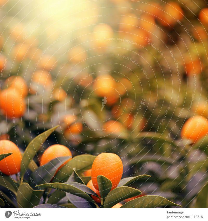 orange Natur Sonne Sommer Pflanze Baum exotisch Wärme Warmes Licht Orange Orangenbaum Schwache Tiefenschärfe dunkelgrün leuchten fruchtig Saft lecker Ernte