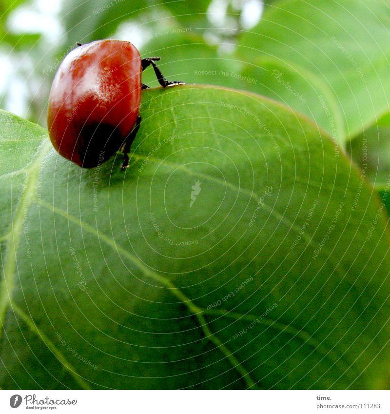 Cliffhanger Farbfoto Außenaufnahme Textfreiraum unten Morgendämmerung Garten Klettern Bergsteigen Natur Blatt Käfer festhalten hängen krabbeln grün rot Kraft