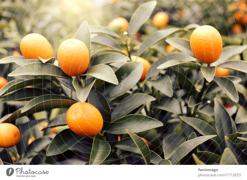 Früchtchen Natur lecker fruchtig Orange grün dunkelgrün leuchten Orangenbaum exotisch Plantage Gewächshaus Frucht Zitrusfrüchte Vitamin Vitamin C südländisch