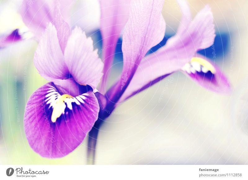feine Blüte Natur Frühling Blume ästhetisch schön elegant violett weiß grün gelb blau zart Blütenpflanze Blühend frisch Frühlingsgefühle Stiefmütterchen